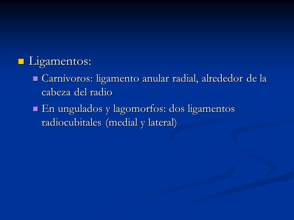 Ligamentos:Carnívoros: ligamento anular radial, alrededor de la cabeza del radio.