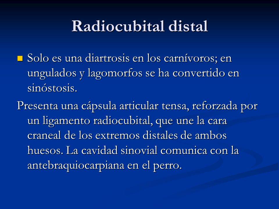 Radiocubital distalSolo es una diartrosis en los carnívoros; en ungulados y lagomorfos se ha convertido en sinóstosis.