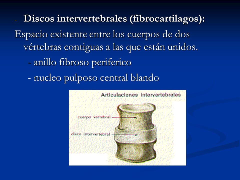 Discos intervertebrales (fibrocartilagos):