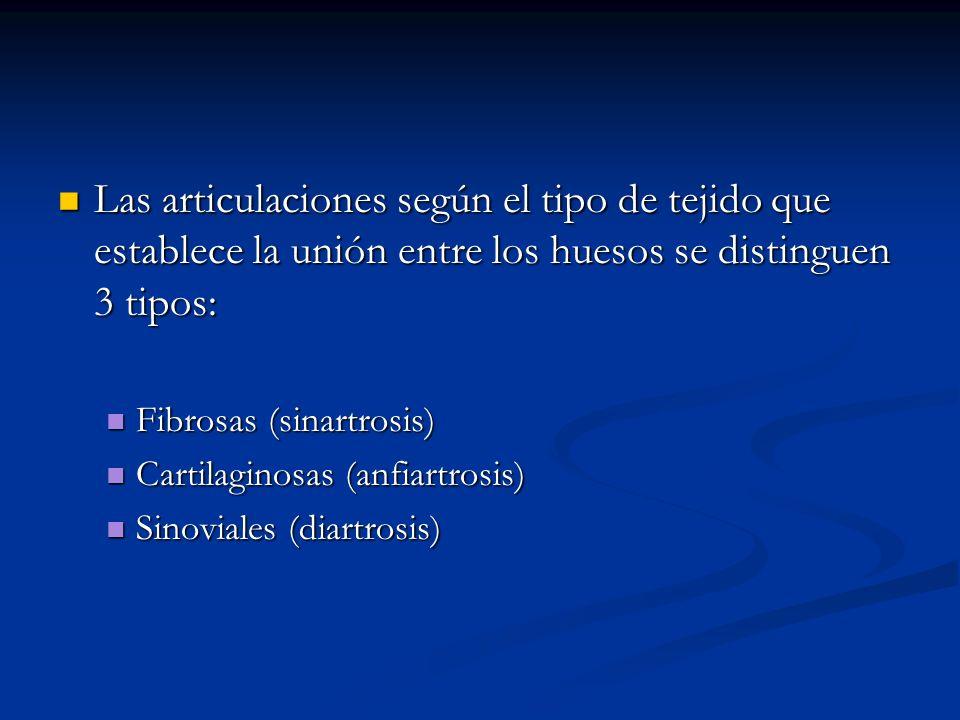 Las articulaciones según el tipo de tejido que establece la unión entre los huesos se distinguen 3 tipos: