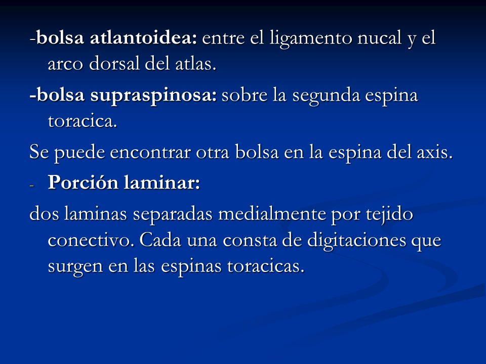 -bolsa atlantoidea: entre el ligamento nucal y el arco dorsal del atlas.