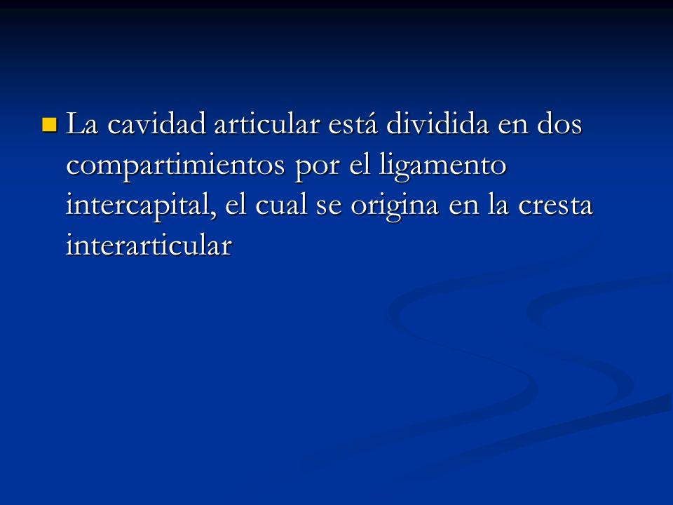 La cavidad articular está dividida en dos compartimientos por el ligamento intercapital, el cual se origina en la cresta interarticular
