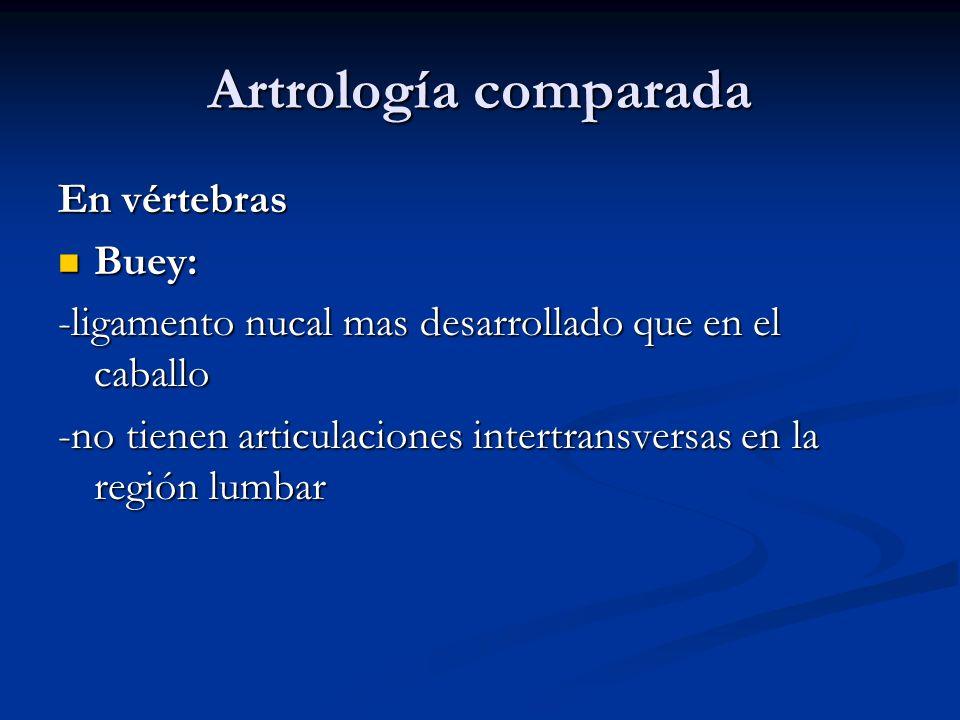 Artrología comparada En vértebras Buey: