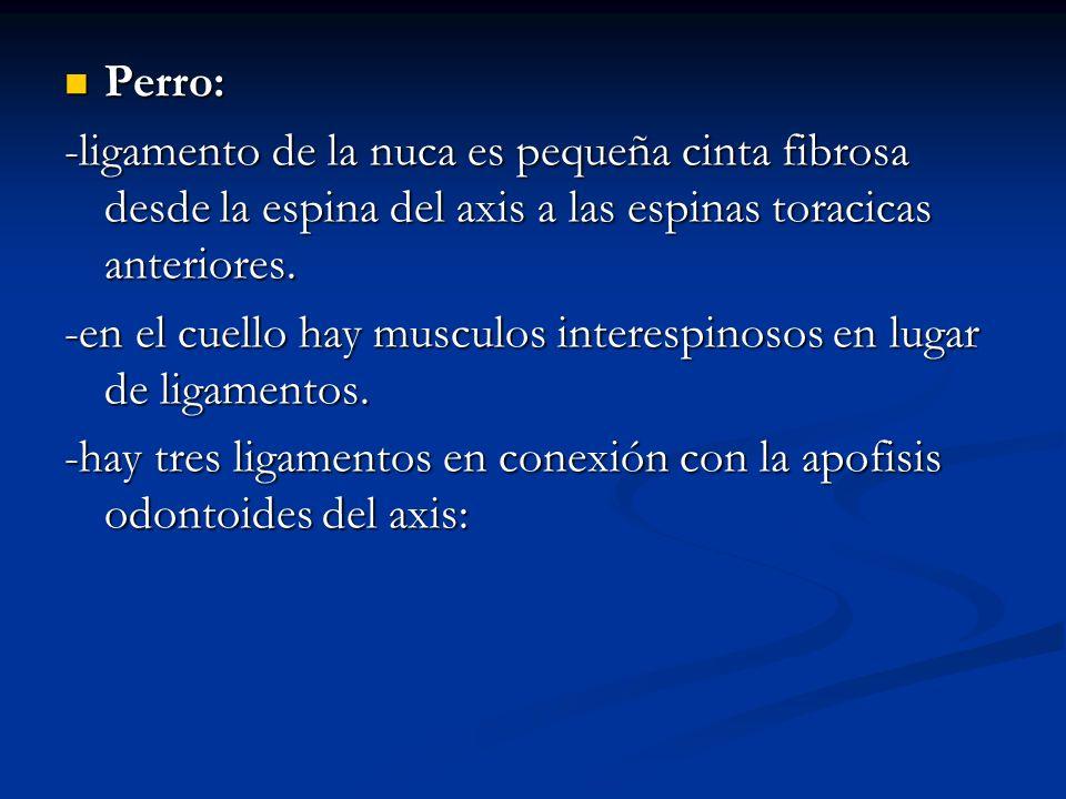 Perro: -ligamento de la nuca es pequeña cinta fibrosa desde la espina del axis a las espinas toracicas anteriores.