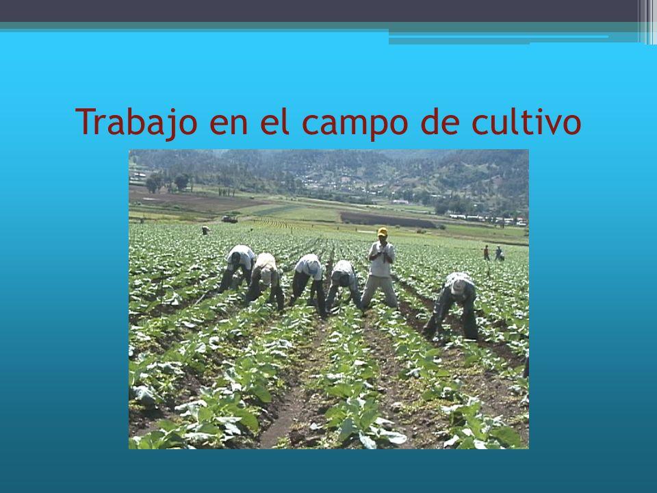 Trabajo en el campo de cultivo