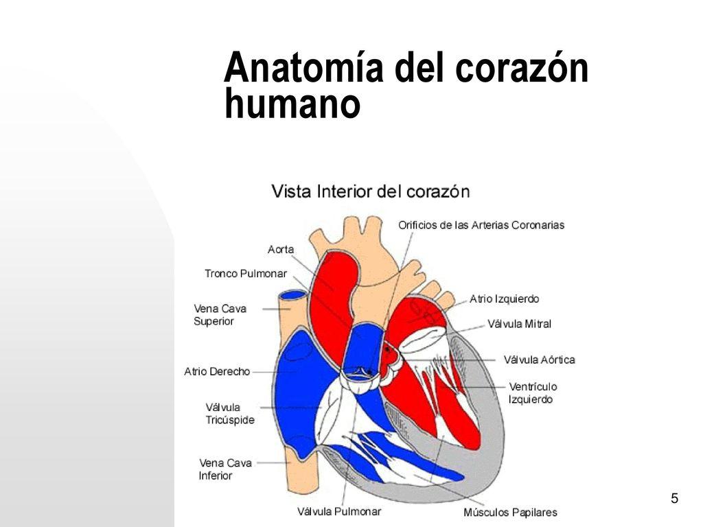 Hermosa Anatomía Del Corazón De Ejercicios 30 Ilustración - Anatomía ...