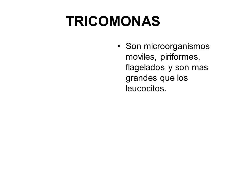 TRICOMONAS Son microorganismos moviles, piriformes, flagelados y son mas grandes que los leucocitos.