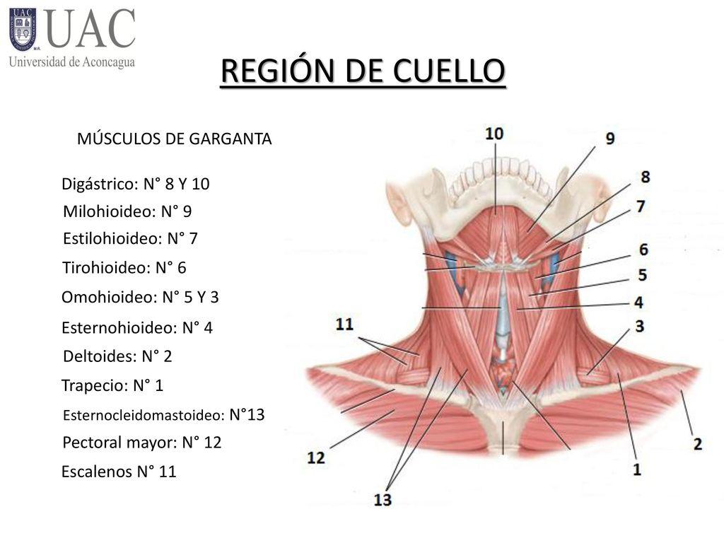 Increíble Diagrama De Músculo Garganta Elaboración - Anatomía de Las ...
