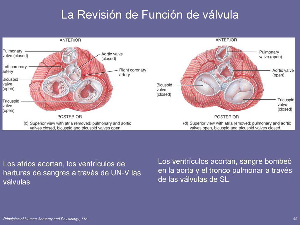Moderno Anatomía De La Válvula Pulmonar Elaboración - Anatomía de ...