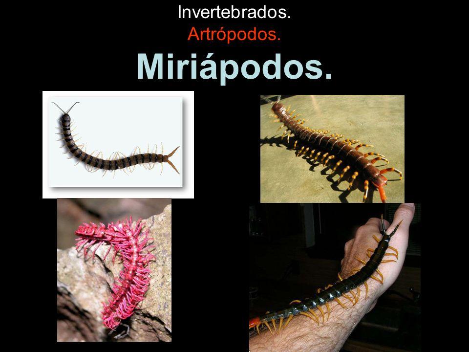 Invertebrados. Artrópodos. Miriápodos.