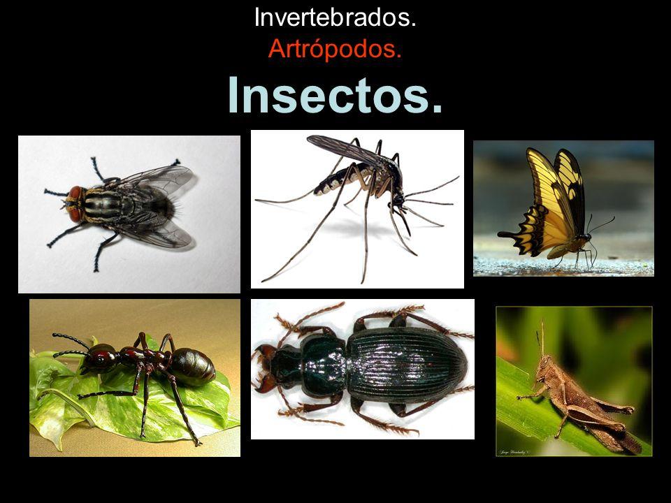 Invertebrados. Artrópodos. Insectos.
