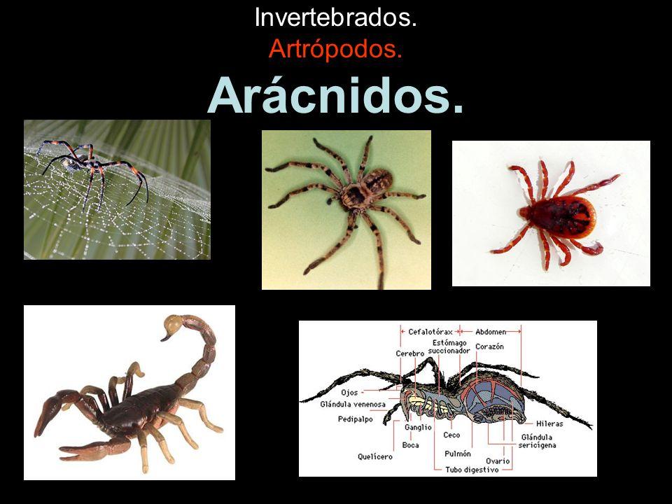 Invertebrados. Artrópodos. Arácnidos.
