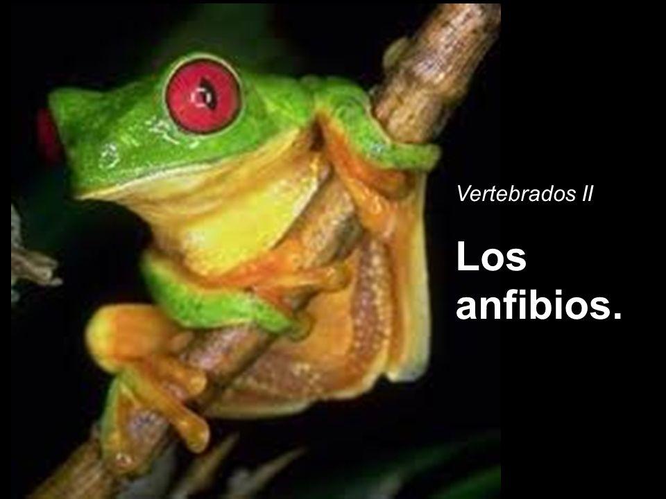 Vertebrados II Los anfibios.