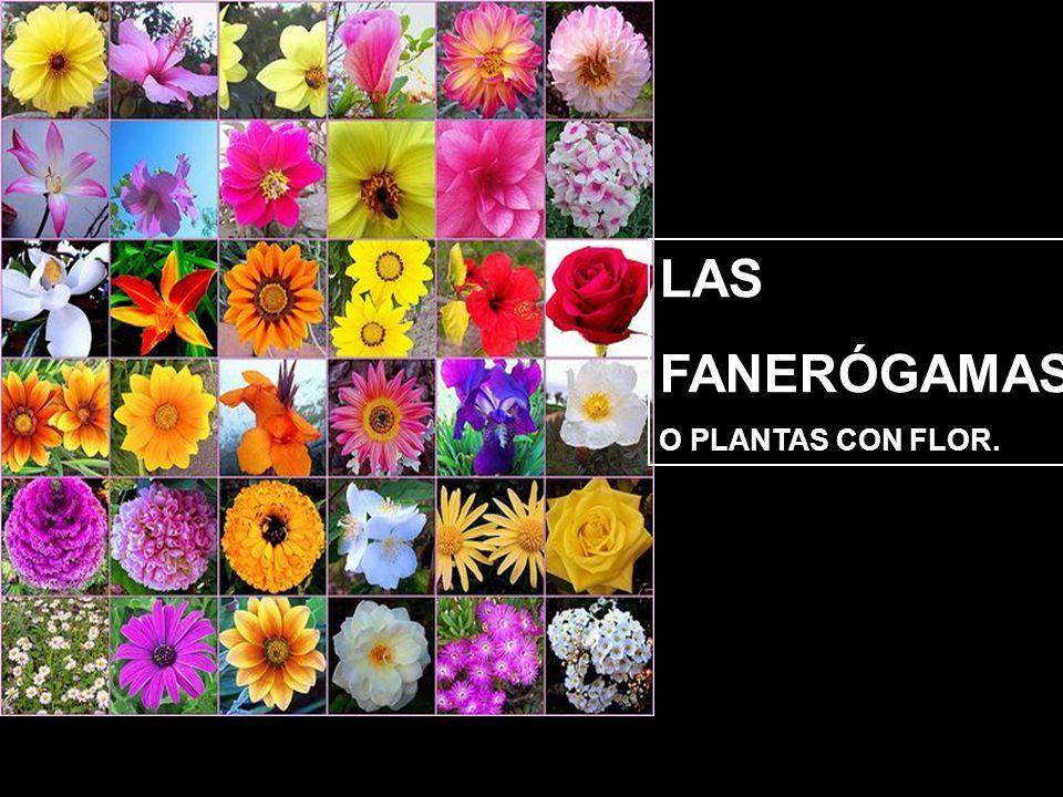 LAS FANERÓGAMAS O PLANTAS CON FLOR.