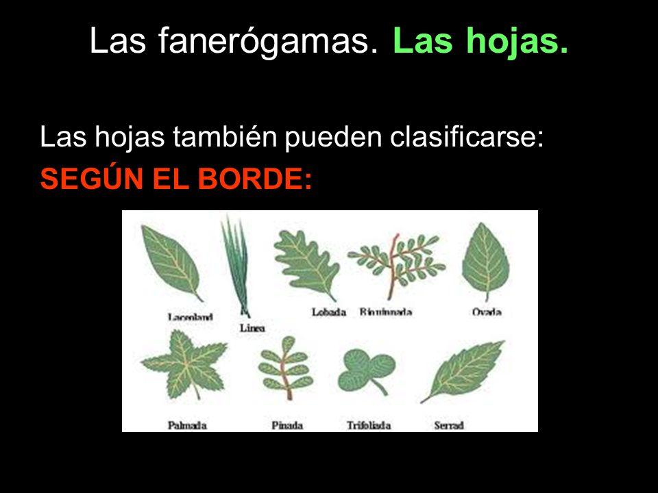 Las fanerógamas. Las hojas.