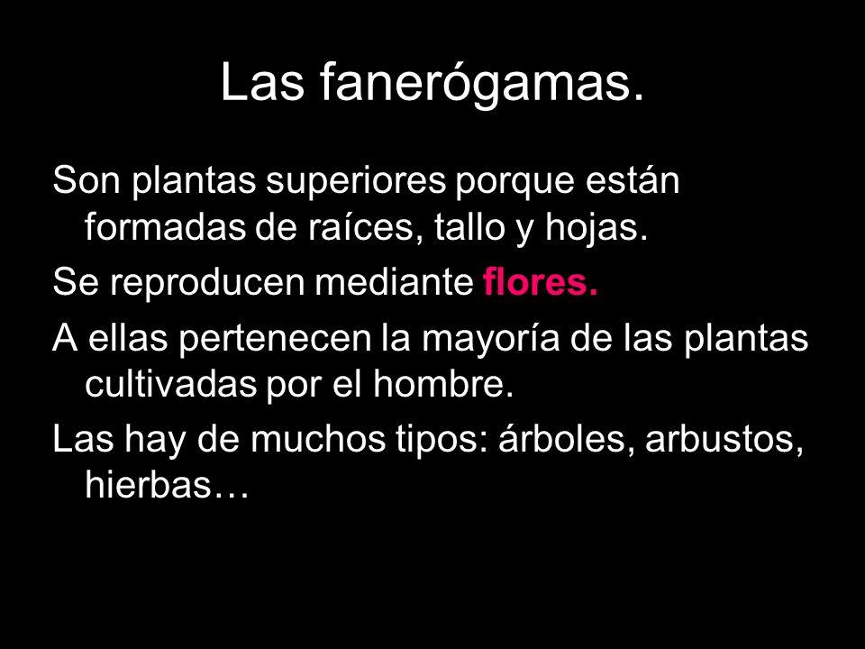Las fanerógamas. Son plantas superiores porque están formadas de raíces, tallo y hojas. Se reproducen mediante flores.