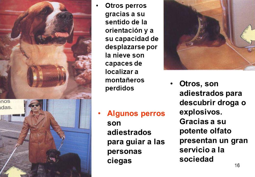 Algunos perros son adiestrados para guiar a las personas ciegas