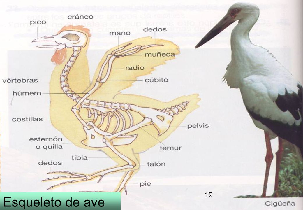 19 Esqueleto de ave