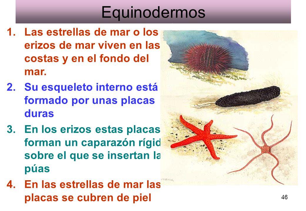 Equinodermos Las estrellas de mar o los erizos de mar viven en las costas y en el fondo del mar.