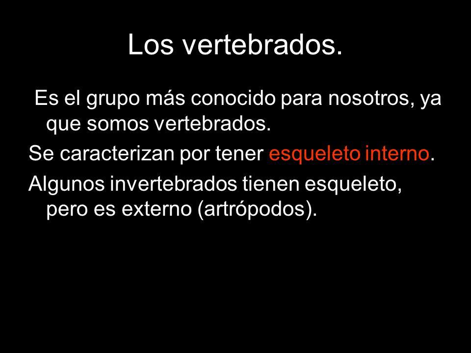 Los vertebrados. Es el grupo más conocido para nosotros, ya que somos vertebrados. Se caracterizan por tener esqueleto interno.