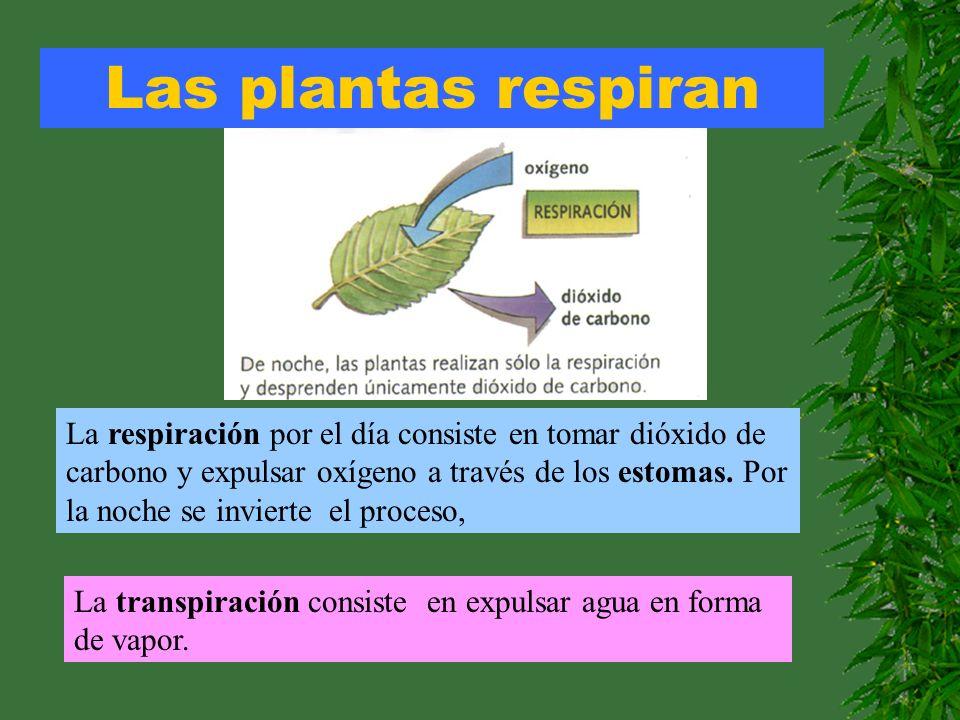 Las plantas respiran