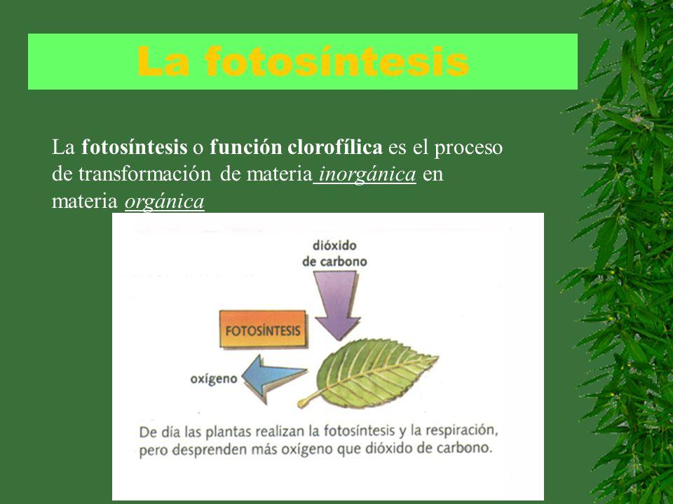La fotosíntesisLa fotosíntesis o función clorofílica es el proceso de transformación de materia inorgánica en materia orgánica.