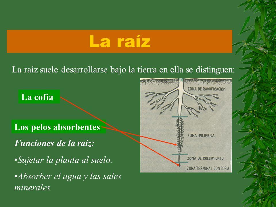 La raízLa raíz suele desarrollarse bajo la tierra en ella se distinguen: La cofia. Los pelos absorbentes.