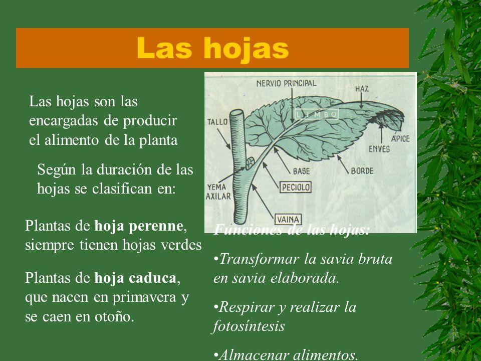 Las hojas Las hojas son las encargadas de producir el alimento de la planta. Según la duración de las hojas se clasifican en: