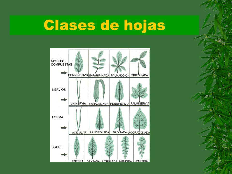 Clases de hojas