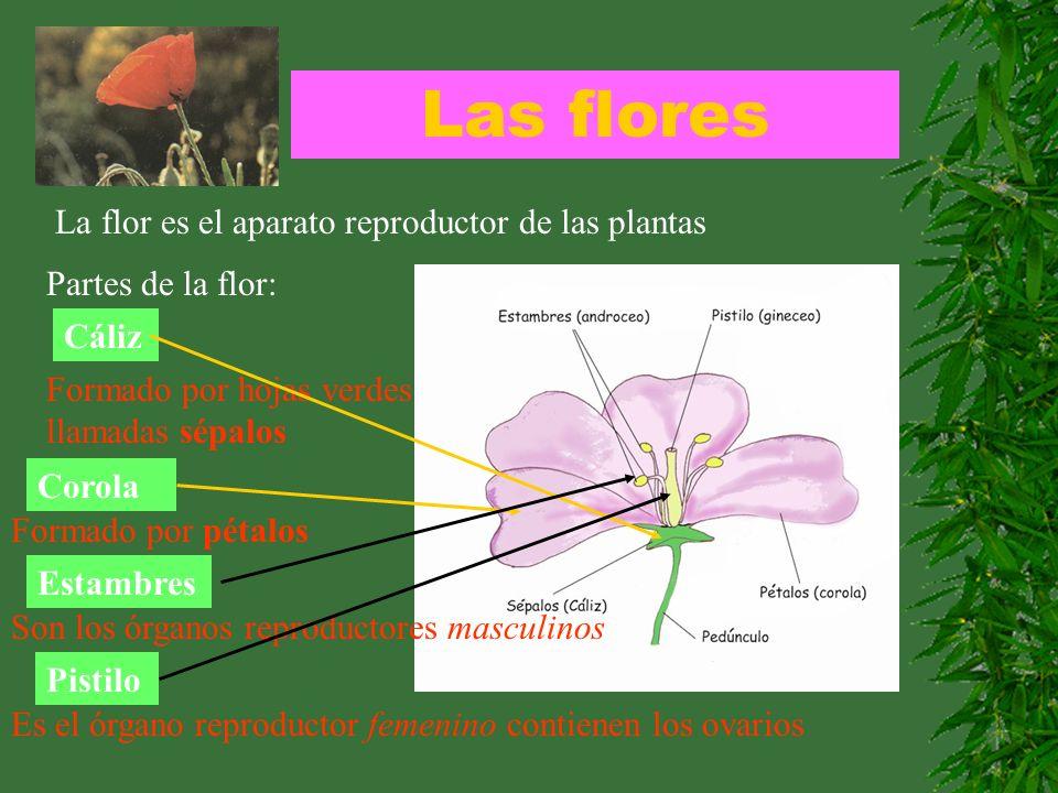 Las flores La flor es el aparato reproductor de las plantas