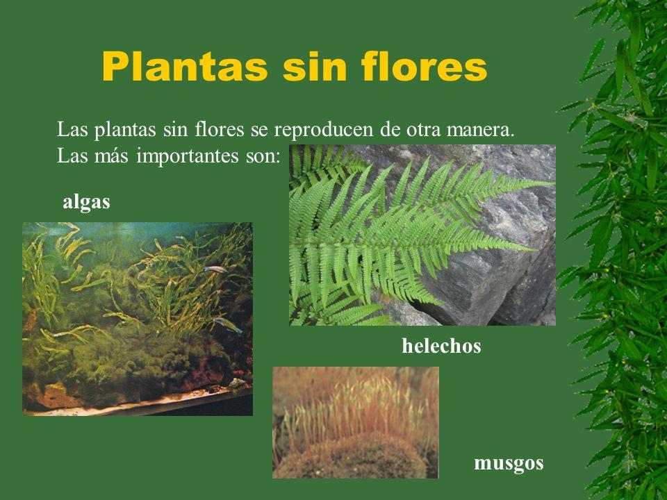 Plantas sin flores Las plantas sin flores se reproducen de otra manera. Las más importantes son: algas.