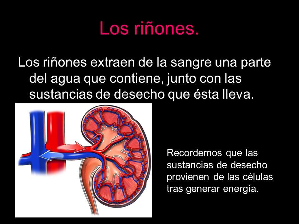 Los riñones. Los riñones extraen de la sangre una parte del agua que contiene, junto con las sustancias de desecho que ésta lleva.