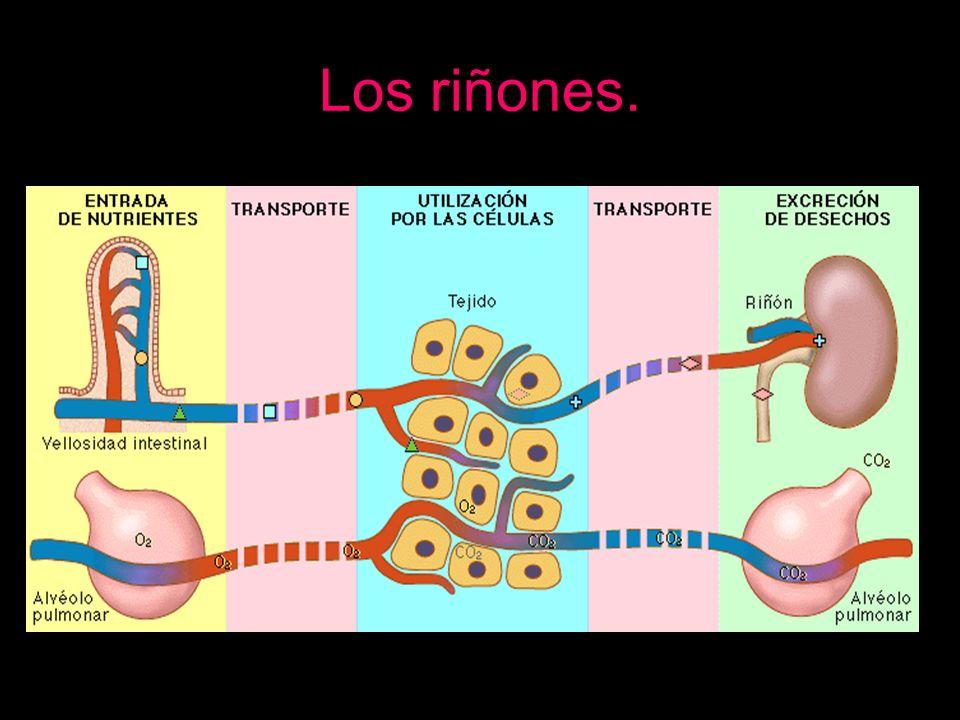 Los riñones.