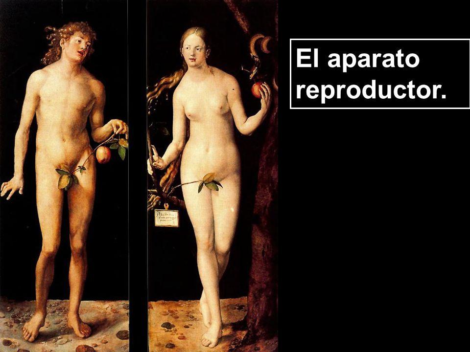 El aparato reproductor.