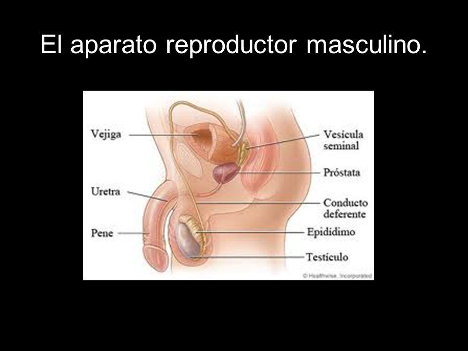 El aparato reproductor masculino.