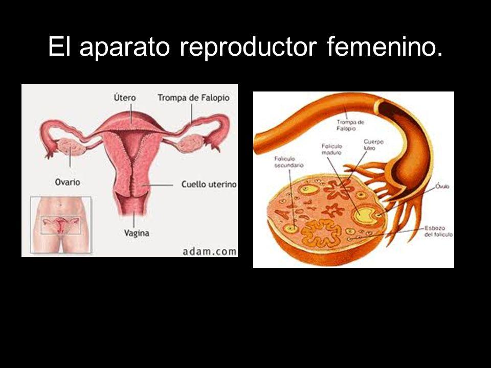 El aparato reproductor femenino.