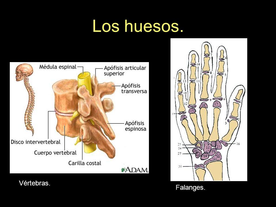 Los huesos. Vértebras. Falanges.