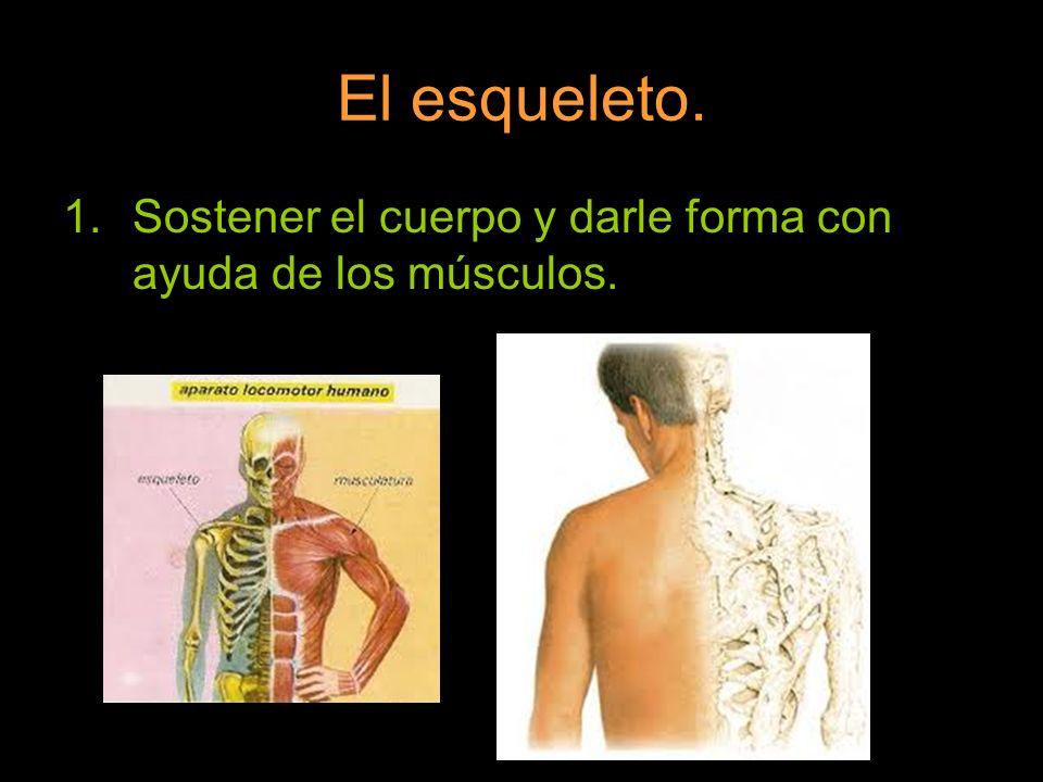 El esqueleto. Sostener el cuerpo y darle forma con ayuda de los músculos.