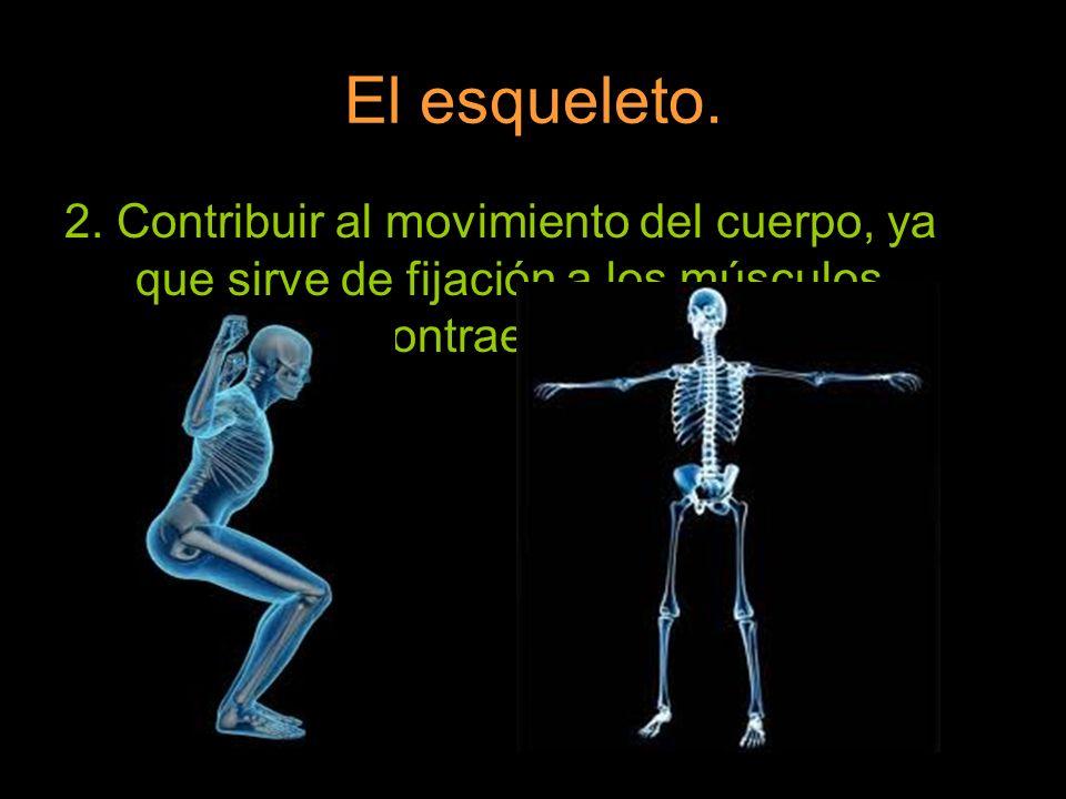 El esqueleto. 2.