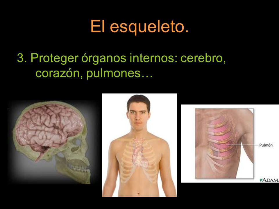El esqueleto. 3. Proteger órganos internos: cerebro, corazón, pulmones…