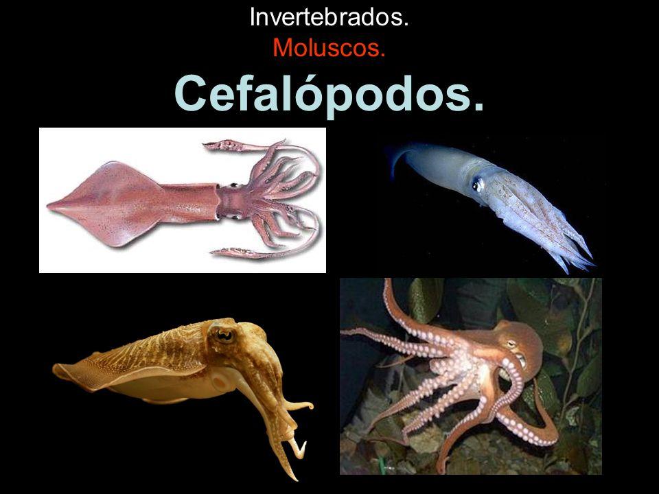Invertebrados. Moluscos. Cefalópodos.