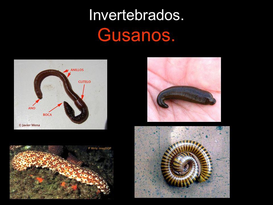 Invertebrados. Gusanos.
