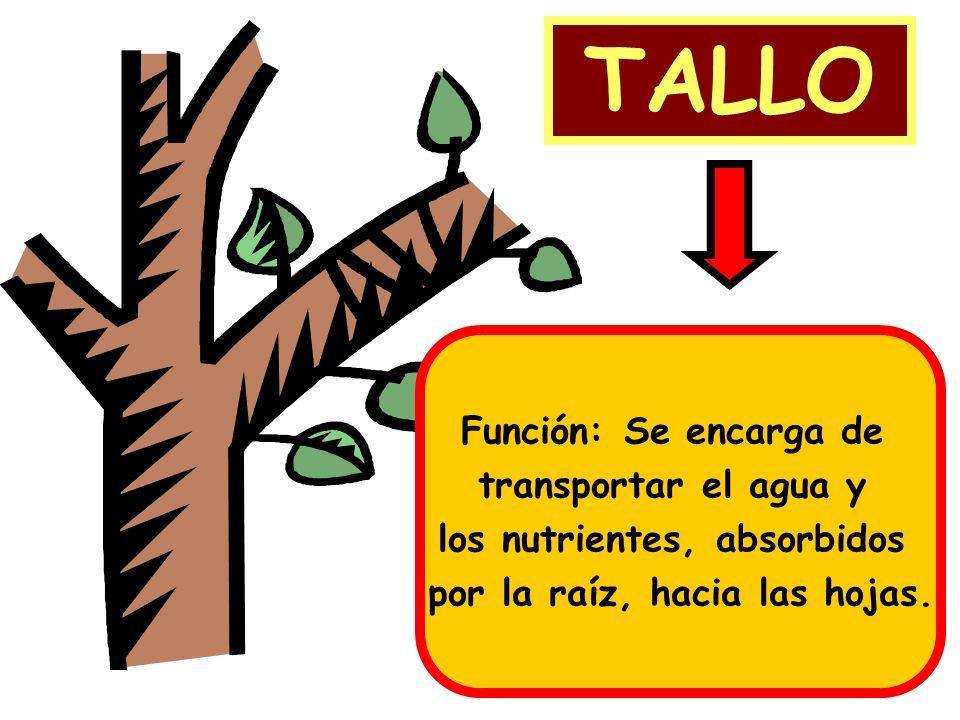 los nutrientes, absorbidos por la raíz, hacia las hojas.