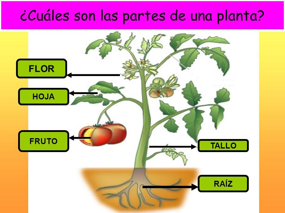 ¿Cuáles son las partes de una planta