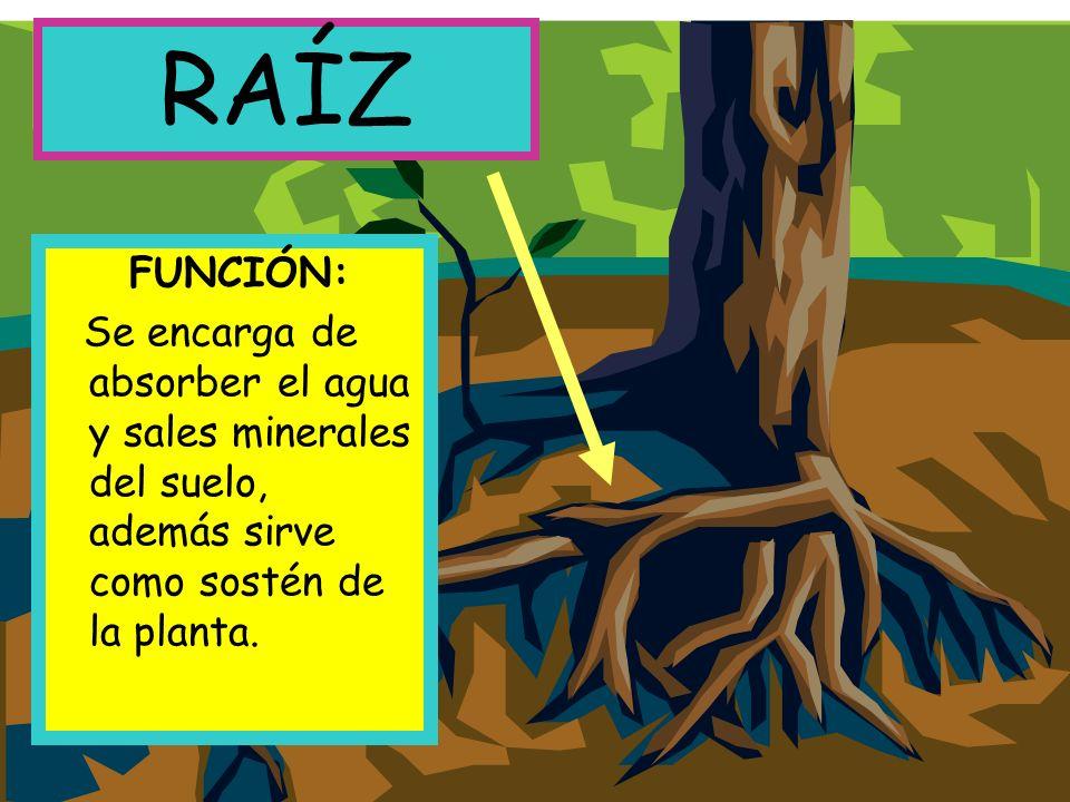 RAÍZ FUNCIÓN: Se encarga de absorber el agua y sales minerales del suelo, además sirve como sostén de la planta.