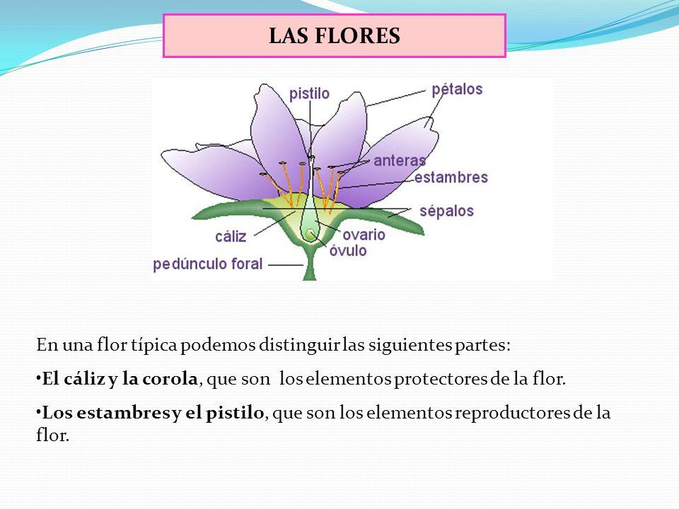 LAS FLORES En una flor típica podemos distinguir las siguientes partes: El cáliz y la corola, que son los elementos protectores de la flor.