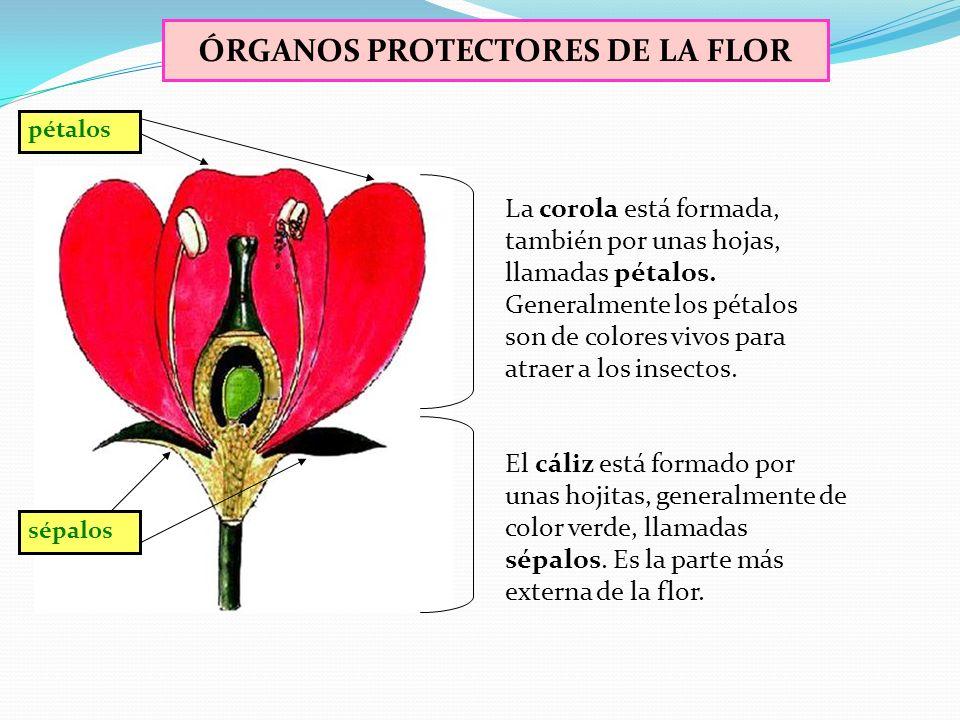 ÓRGANOS PROTECTORES DE LA FLOR