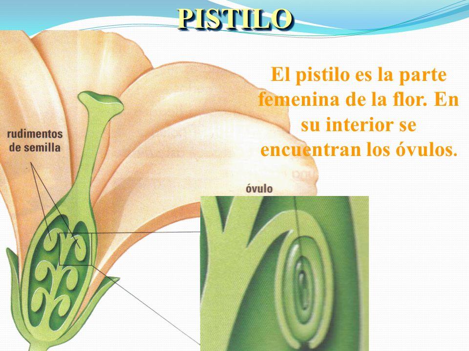 PISTILO El pistilo es la parte femenina de la flor. En su interior se encuentran los óvulos.
