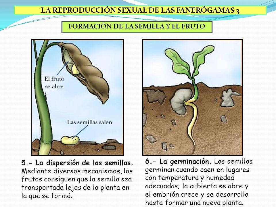 LA REPRODUCCIÓN SEXUAL DE LAS FANERÓGAMAS 3