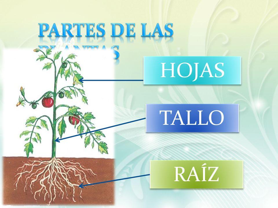 PARTES DE LAS PLANTAS HOJAS TALLO RAÍZ